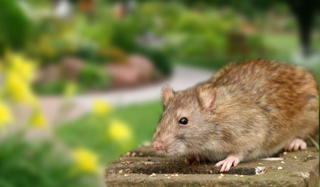 Rats and Mice Control in Santa Barbara