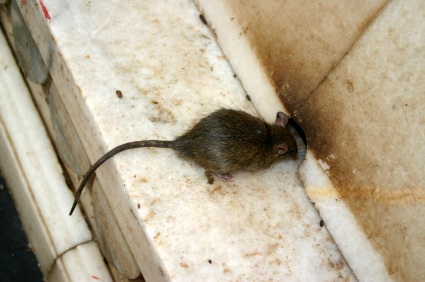 Rats and Mice Enter your home through holes in walls when they smell food sources