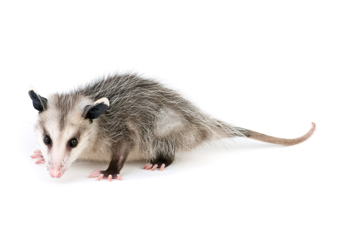 Pin Ice-age-opossums-crash-eddie-facebook-covers-timeline ...