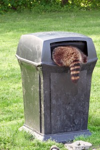 Live Racoon Trapping, Racoon inside of trashcan