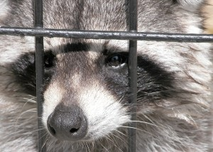 Racoon Trapped in Live Animal Trap