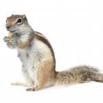Santa Barbara's Most Wanted: The Ground Squirrel Rodent Problem