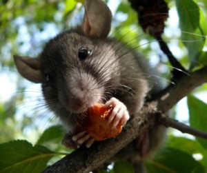 Rat in tree eating fruit, landscape, mouse