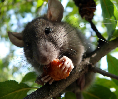 Why Are There So Many Rats In Santa Barbara So Cal Pest