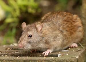 Rat around the house, rat exterminators, Santa Barbara