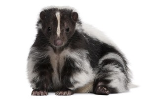 santa-barbara-pest-control-service-skunk-removal-live-trapping